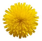symbol for happiness - dandelion
