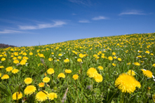 symbol for happiness - field of dandelions