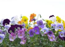 animal stories - planting flowers - pansies