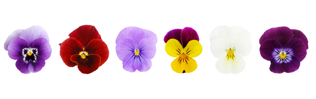 plantin flowers - row of pansies
