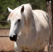 the day the laughter died - percheron stallion