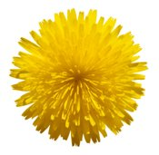 symbol for happiness - dandelion