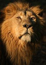 I can attitude - lion king
