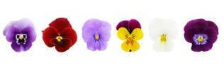 plantin flowers - row of pansies