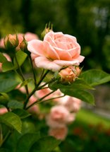 one step at a time - pink rose