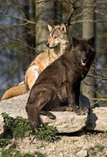 anger management tips - two wolves